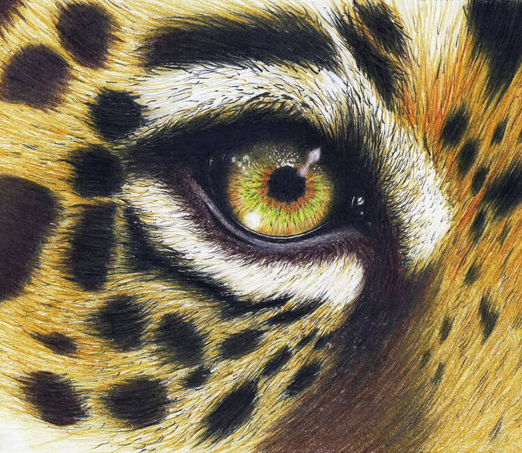 Leopard eye drawing by Bajan Art