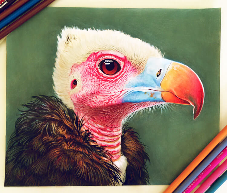 Condor drawing by Morgan Davidson