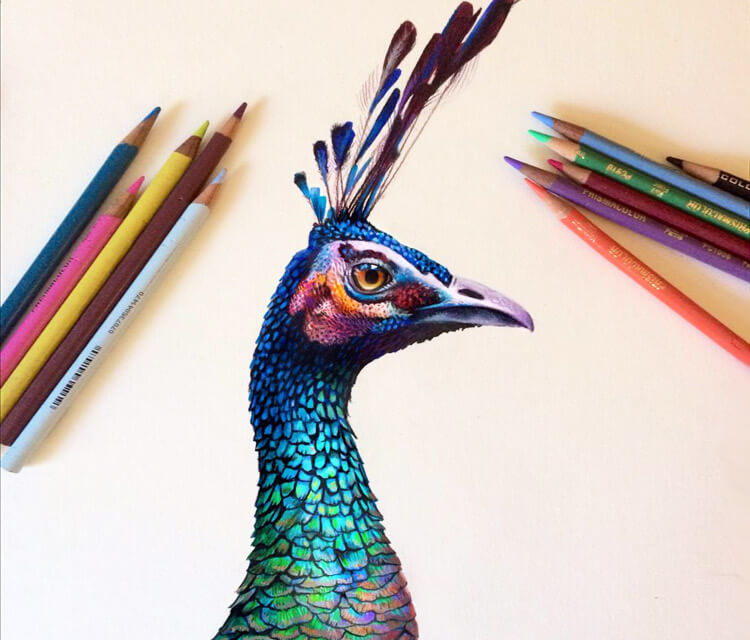 Peacock drawing by Morgan Davidson