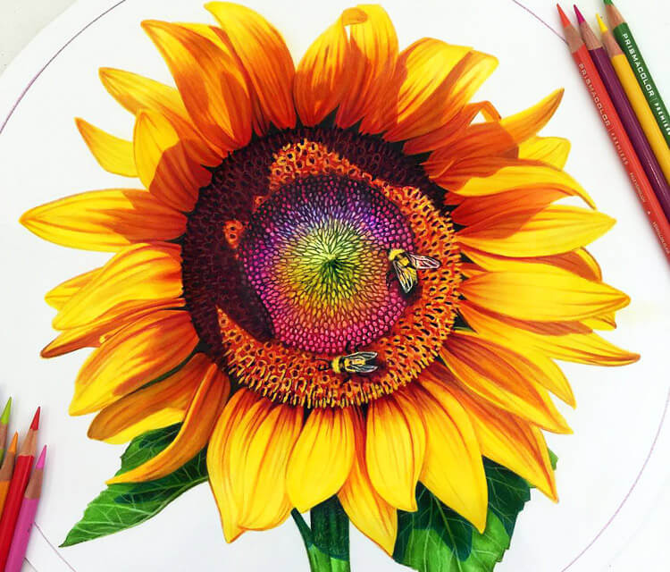 Sunflower color drawing by Morgan Davidson